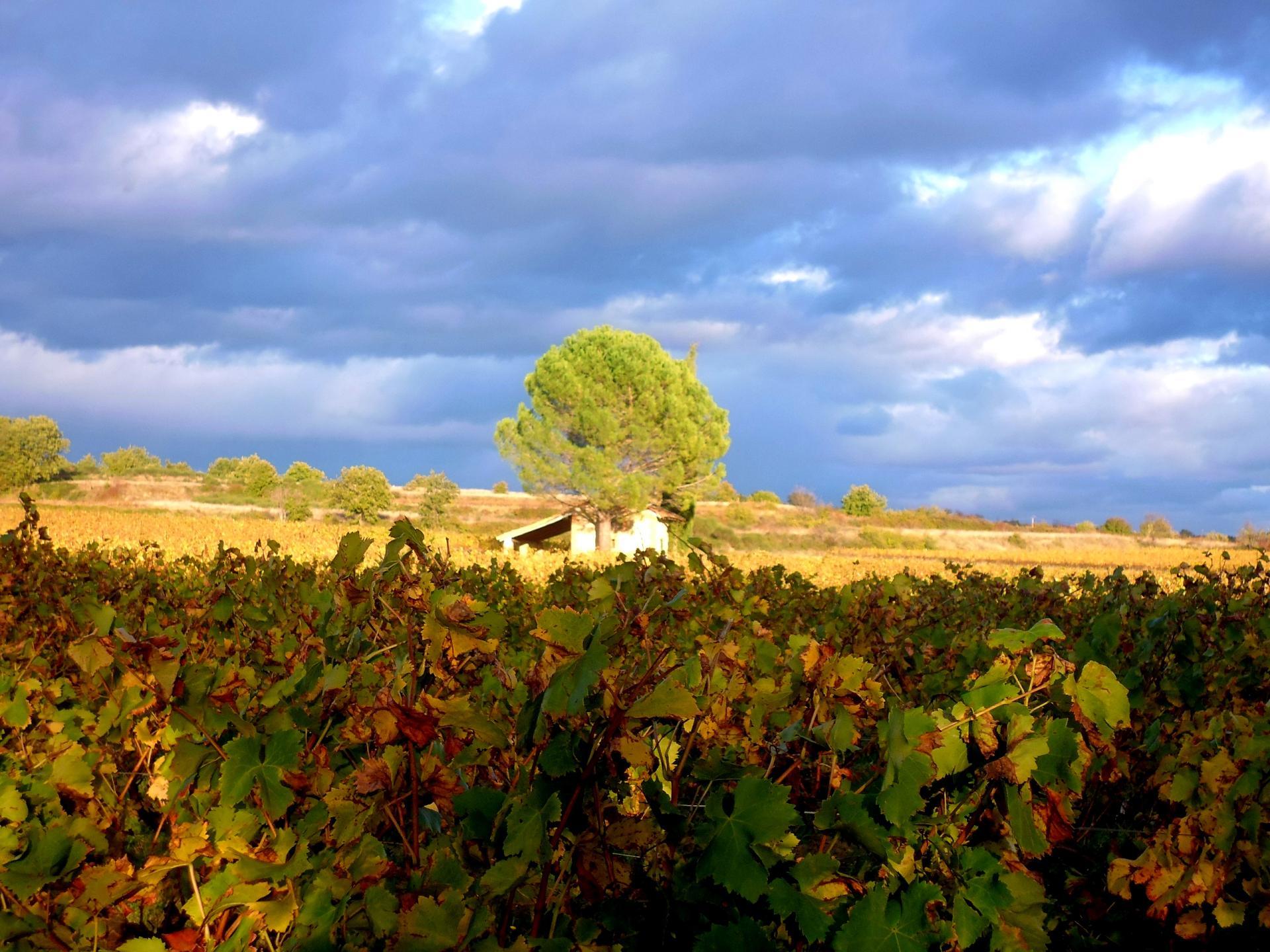 vignes, coteaux de Lézan